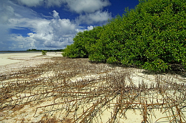 Trees on shore surrounded by creeping roots, Seychelles  -  Wil Meinderts/ Buiten-beeld