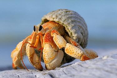 Strawberry Land Hermit Crab (Coenobita perlatus) on beach, Aldabra, Seychelles  -  Wil Meinderts/ Buiten-beeld