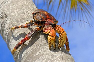 Coconut Crab (Birgus latro) climbing palm tree, Aldabra, Seychelles  -  Wil Meinderts/ Buiten-beeld
