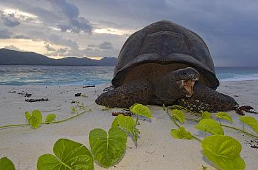 Aldabra Giant Tortoise (Aldabrachelys gigantea) on beach, Aldabra, Seychelles  -  Wil Meinderts/ Buiten-beeld