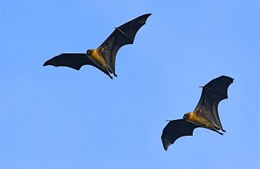 Seychelles Flying Fox (Pteropus seychellensis) pair flying, Aldabra, Seychelles  -  Wil Meinderts/ Buiten-beeld