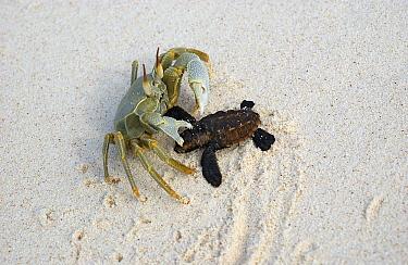 Ghost Crab (Ocypode ceratophthalma) catching Hawksbill Sea Turtle (Eretmochelys imbricata) hatchling, Aldabra, Seychelles  -  Wil Meinderts/ Buiten-beeld