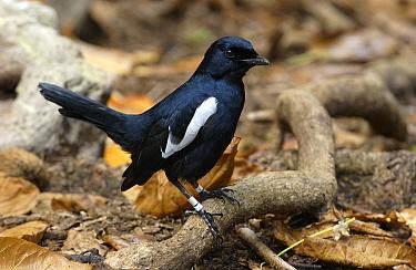 Seychelles Magpie-Robin (Copsychus sechellarum) on forest floor, Aldabra, Seychelles  -  Wil Meinderts/ Buiten-beeld