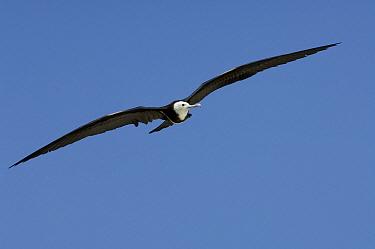 Great Frigatebird (Fregata minor) juvenile flying, Aldabra, Seychelles  -  Wil Meinderts/ Buiten-beeld