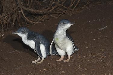 Little Blue Penguin (Eudyptula minor) pair walking down hill to go on a feeding trip at sea, Phillip Island, Australia  -  D. Parer & E. Parer-Cook