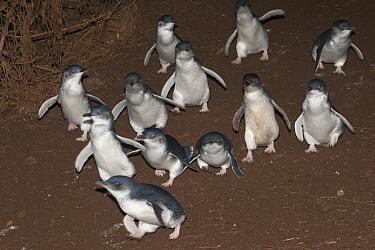 Little Blue Penguin (Eudyptula minor) group walking down hill to go on a feeding trip at sea, Phillip Island, Australia  -  D. Parer & E. Parer-Cook