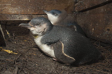Little Blue Penguin (Eudyptula minor) adult with down-covered chick in nesting box, Phillip Island, Australia  -  D. Parer & E. Parer-Cook