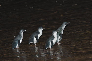 Little Blue Penguin (Eudyptula minor) returning from a feeding trip at sea, Phillip Island, Australia  -  D. Parer & E. Parer-Cook
