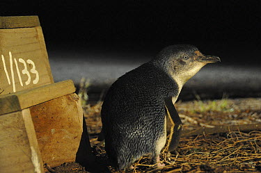 Little Blue Penguin (Eudyptula minor) male outside numbered nest box awaiting the return of his mate, Phillip Island, Australia  -  D. Parer & E. Parer-Cook