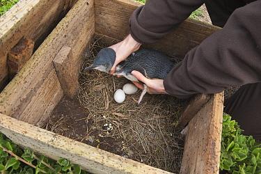Little Blue Penguin (Eudyptula minor) adult returned to nest box by researcher, Phillip Island, Australia  -  D. Parer & E. Parer-Cook