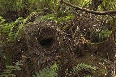 Superb Lyrebird (Menura novaehollandiae) nest, Sherbrooke Forest Park, Victoria, Australia  -  D. Parer & E. Parer-Cook