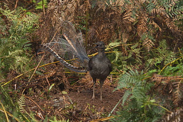 Superb Lyrebird (Menura novaehollandiae) male clearing an area in which to perform mating dance, Sherbrooke Forest Park, Victoria, Australia  -  D. Parer & E. Parer-Cook