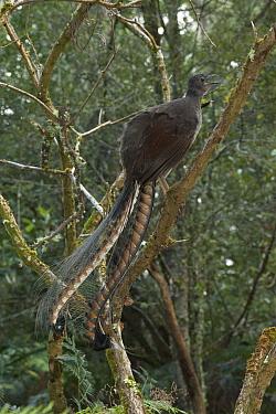 Superb Lyrebird (Menura novaehollandiae) male singing from perch, Sherbrooke Forest Park, Victoria, Australia  -  D. Parer & E. Parer-Cook