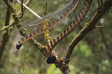 Superb Lyrebird (Menura novaehollandiae) male tail feathers in peak breeding condition, Sherbrooke Forest Park, Victoria, Australia  -  D. Parer & E. Parer-Cook