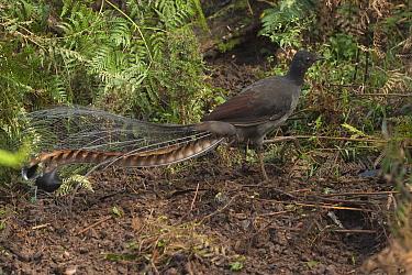 Superb Lyrebird (Menura novaehollandiae) male on display mound, Sherbrooke Forest Park, Victoria, Australia  -  D. Parer & E. Parer-Cook
