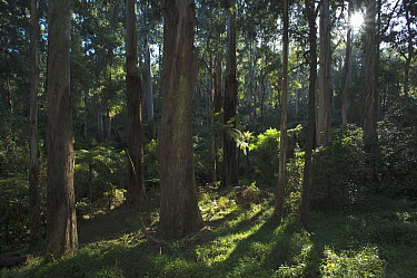 Mountain-ash (Eucalyptus regnans) forest providing ideal habitat for Superb Lyrebird (Menura novaehollandiae), Sherbrooke Forest Park, Victoria, Australia  -  D. Parer & E. Parer-Cook