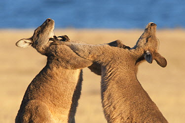 Eastern Grey Kangaroo (Macropus giganteus) males fighting for dominance and access to females, Maria Island National Park, Australia  -  D. Parer & E. Parer-Cook