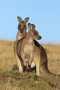 Eastern Grey Kangaroo (Macropus giganteus) female with large juvenile, Maria Island National Park, Australia  -  D. Parer & E. Parer-Cook