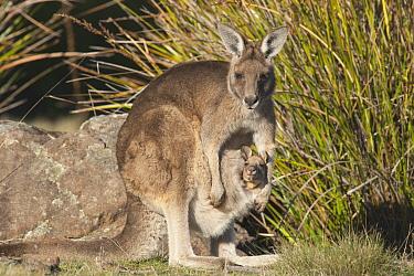 Eastern Grey Kangaroo (Macropus giganteus) female with joey in pouch, Maria Island National Park, Australia  -  D. Parer & E. Parer-Cook