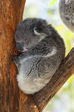 Koala (Phascolarctos cinereus) sleeping, Phillip Island, Australia  -  D. Parer & E. Parer-Cook