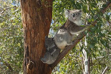 Koala (Phascolarctos cinereus) mother with large joey, Phillip Island, Australia  -  D. Parer & E. Parer-Cook