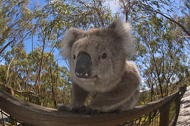 Koala (Phascolarctos cinereus) using a railing to travel from one tree to another, Phillip Island, Australia  -  D. Parer & E. Parer-Cook