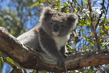 Koala (Phascolarctos cinereus) juvenile, Phillip Island, Australia  -  D. Parer & E. Parer-Cook