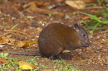 Musky Rat Kangaroo (Hypsiprymnodon moschatus) feeding on fallen fruit, Atherton Tableland, Australia  -  D. Parer & E. Parer-Cook