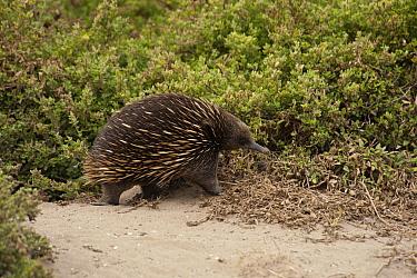 Short-beaked Echidna (Tachyglossus aculeatus) foraging on sand dunes, Phillip Island, Australia  -  D. Parer & E. Parer-Cook