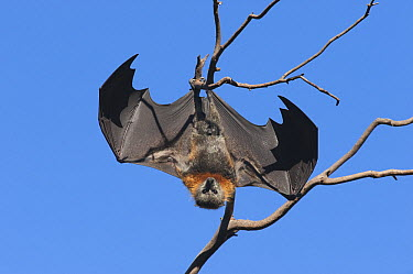 Gray-headed Flying Fox (Pteropus poliocephalus) flapping to dissipate heat, Yarra River, Australia  -  D. Parer & E. Parer-Cook