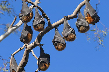 Gray-headed Flying Fox (Pteropus poliocephalus) group resting during the middle of the day, Yarra River, Australia  -  D. Parer & E. Parer-Cook