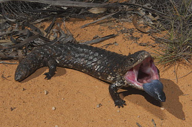 Shingleback Skink (Tiliqua rugosa) in threat display, Victoria, Australia  -  D. Parer & E. Parer-Cook