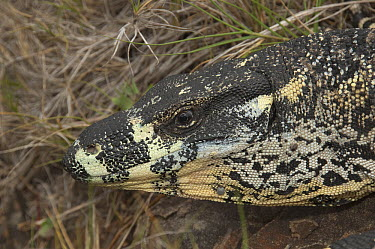 Lace Monitor Lizard (Varanus varius) foraging, Victoria, Australia  -  D. Parer & E. Parer-Cook
