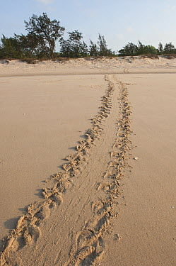 Flatback Turtle (Natator depressa) tracks going up the beach to nest, Torres Strait, Australia  -  D. Parer & E. Parer-Cook