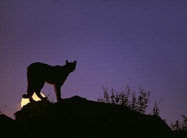 Mountain Lion (Puma concolor) on moonlit ridge, North America  -  Tim Fitzharris
