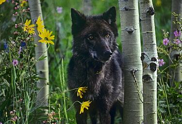Gray Wolf (Canis lupus) dark morph, Montana  -  Tim Fitzharris