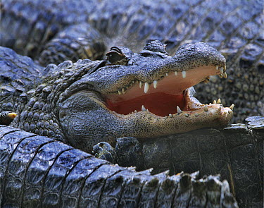 American Alligator (Alligator mississippiensis), Everglades, Florida  -  Tim Fitzharris