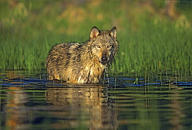Gray Wolf (Canis lupus) wading in pond, Montana  -  Tim Fitzharris