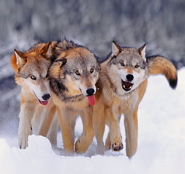 Gray Wolf (Canis lupus) pack walking in snow, Montana  -  Tim Fitzharris