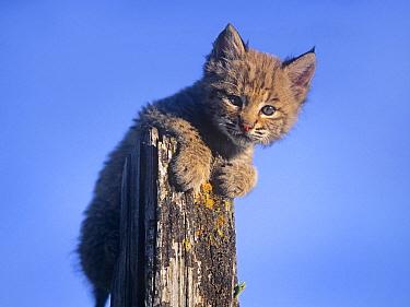 Bobcat (Lynx rufus) kitten, Montana  -  Tim Fitzharris
