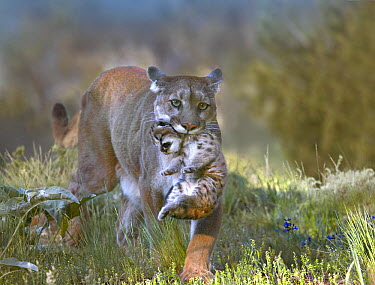 Mountain Lion (Puma concolor) female carrying her cub, Montana  -  Tim Fitzharris