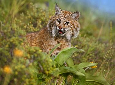 Bobcat (Lynx rufus), Montana  -  Tim Fitzharris