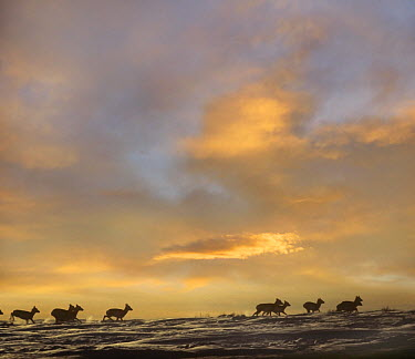 Pronghorn Antelope (Antilocapra americana) herd running over snow,Yellowstone National Park, Gardiner, Montana  -  Tim Fitzharris
