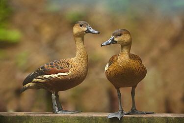 Lesser Whistling-Duck (Dendrocygna javanica) pair, Singapore Zoo  -  Tim Fitzharris