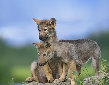 Gray Wolf (Canis lupus) puppies, Montana  -  Tim Fitzharris