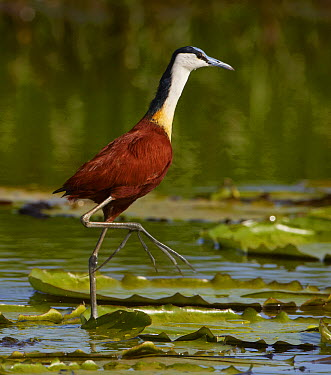 African Jacana (Actophilornis africanus) walking on floating lily pads, Mabamba Swamp, Uganda  -  Martin Willis