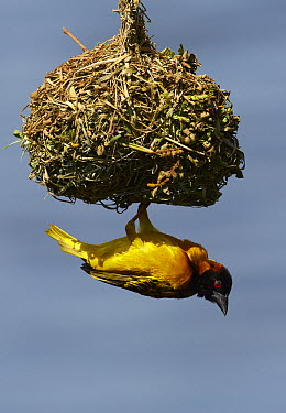 Black-headed Weaver (Ploceus melanocephalus) male attending its dome-shaped nest, Lake Mburo National Park, Uganda  -  Martin Willis