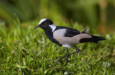 Blacksmith Lapwing (Vanellus armatus), Cape Town, South Africa  -  Martin Willis