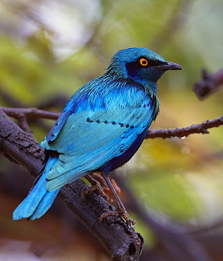 Greater Blue-eared Glossy-Starling (Lamprotornis chalybaeus), Kruger National Park, South Africa  -  Martin Willis