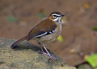 Brown Scrub Robin (Cercotrichas signata), Saint Lucia, South Africa  -  Martin Willis